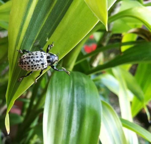 EyeEmNewHere Macro Insect Beetles Beetle On Leaf Costa Rica Close-up Wild Animal White Beetle