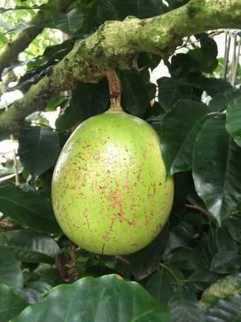 Name that fruit!?! Low Hanging Fruit Fruit Trees San Francisco Conservatory Of Flowers San Francisco