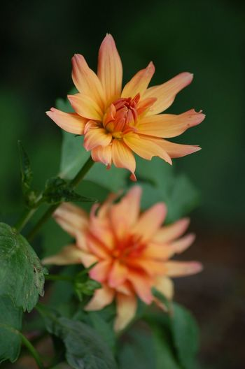 In Bloom Petal Blooming Focus On Foreground Beauty In Nature Blossom Stem Plant Flower Green Nature Day Outdoors Tranquility No People Scenics Lush Foliage Selective Focus Orange Color Color Of Life!