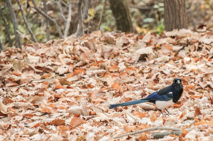 Autumn Chunggyesan Mountain Bird Magpie
