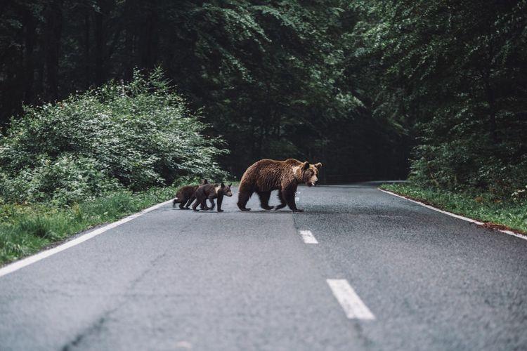 Bears Walking On Road In Forest