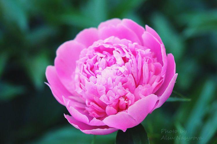 Flowers Macro_flower Pink Flower пион