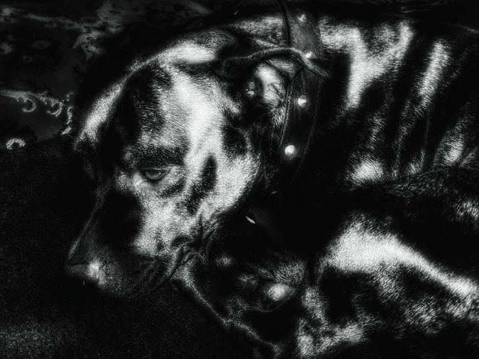 Staffy Dog Nova