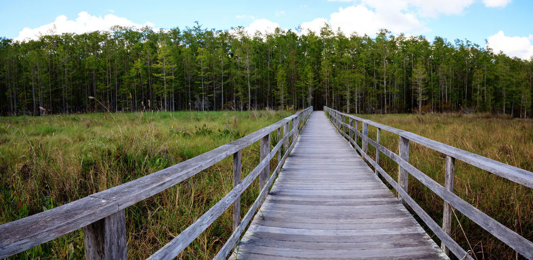 Boardwalk path at corkscrew swamp sanctuary in naples, florida leads to a thick wall of pond cypress