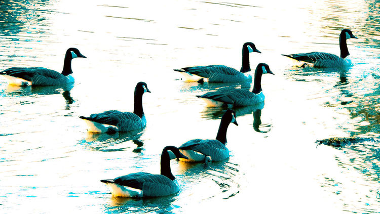 """""""Point formation """" Canadian Geese At The Lake Tranquil Scene Peace And Quiet Lake Life Wild Birds On The Water Formation Leader Of The Clan EyeEm Nature Lover Lakeside Alabama"""