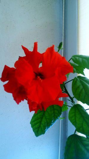 Китайська роза цветое