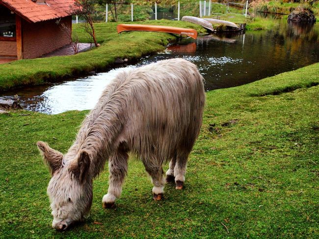 Grass Animal Themes One Animal Domestic Animals Water Green Color No People Nature Mammal Day Outdoors Animals In The Wild Animal Wildlife Animal Photography Animal Nature Animal_collection Mountain Peak Waterfall Nature_collection