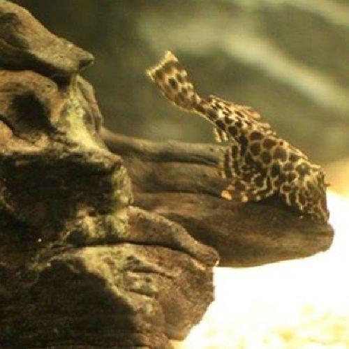 Hello my name is Hugin Pterygoplichthysgibbiceps Instafish Freshwater Moth watertank aquarium fish fishofthedaycute instalike cleaners TagsForLikes bestoftheyday