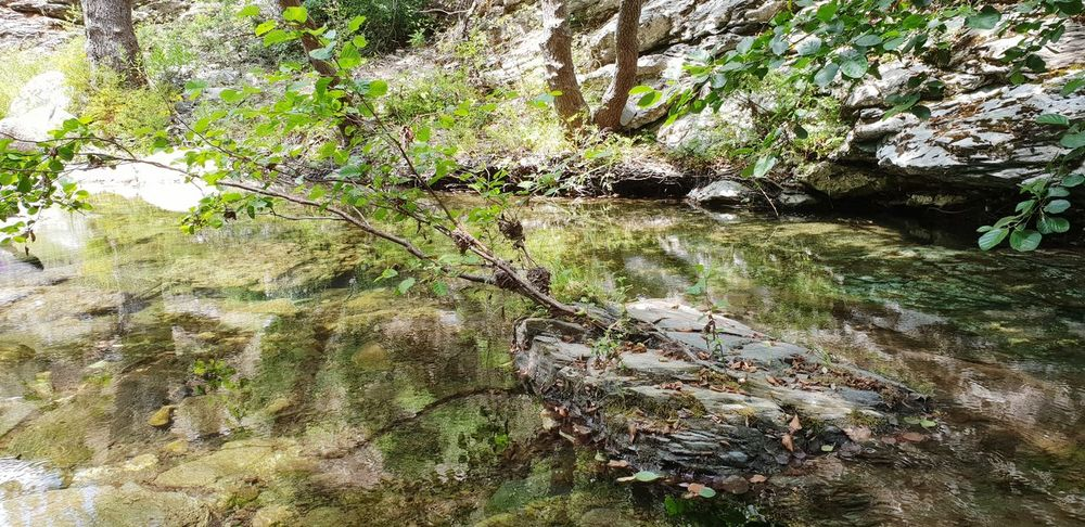 Alnus gtuninosa along the Creek Water Tree