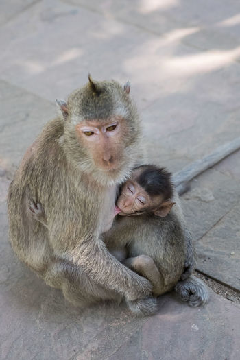 monkey feeding milk to her baby Feeding  Life Love Mother Nature Animal Wildlife Baby Care Child Mammal Monkey Sitting Togetherness Two Animals Warm Young Young Animal