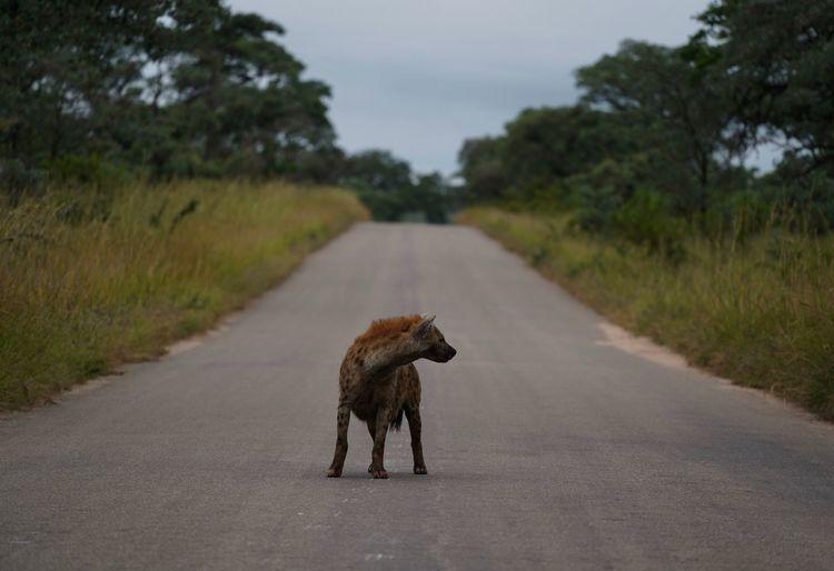 Hyena standing on road