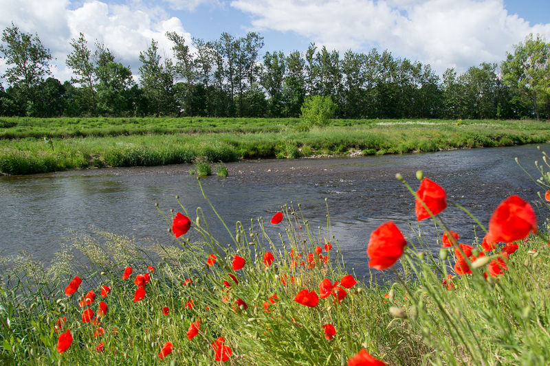 Beauty In Nature Blooming Day Field Flora Flower Freshness Grass Growth Nature No People Outdoors Plant Poppy Red Scenics Sky Tree Uncultivated Vegetation Water