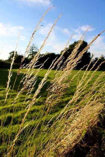 Scenics SkyTranquilityin Nature] Goldenlight Longgrass TranquiliClose-up-up graGoldenden sunligSkysSelective FocuscOrganicnOutdoorsoNatureuGrowingiFreshnesseSunsetset
