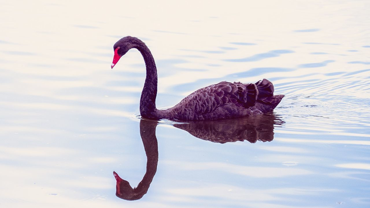 The Black Swan on Black Swan Lake -Bundall. Animals In The Wild Outdoors Animal Themes Black Swan On Water Black Swan Black Swan On A Lake EyeEm Nature Lover EyeEm Best Shots - Nature EyeEm Best Edits EyeEm Masterclass