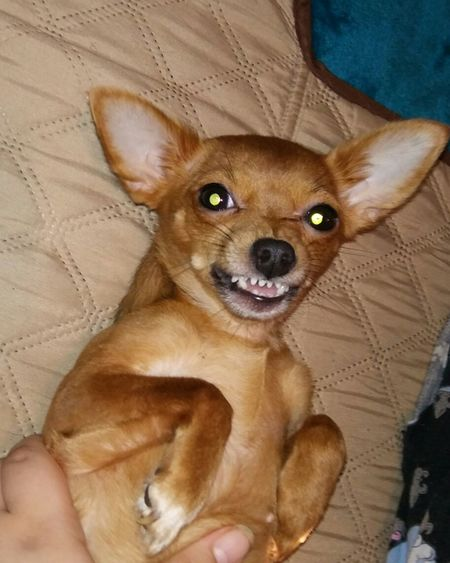 Animal Themes From My Point Of View Enjoying Life Furbaby Love Puppy Face Furbaby Chiweenielovers Cheese!
