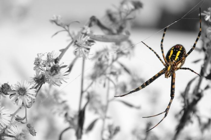Spider Spider Web Argiope Garden Spider Banana Spider Friendly Yellow Black And White Color Pop Insect Arachnid Arachnophobia Arachnid Photography Nature Close-up Outdoors Fragility Ecosystem  Paint The Town Yellow EyeEmNewHere The Week On EyeEm