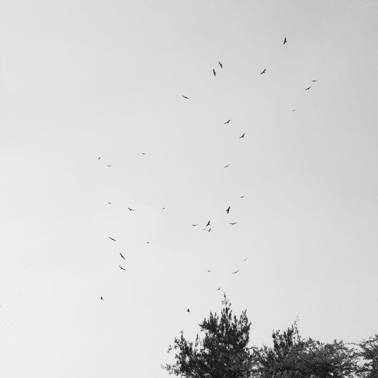 Flying Flock Of Birds Bird Large Group Of Animals Mid-air Animals In The Wild Animal Wildlife