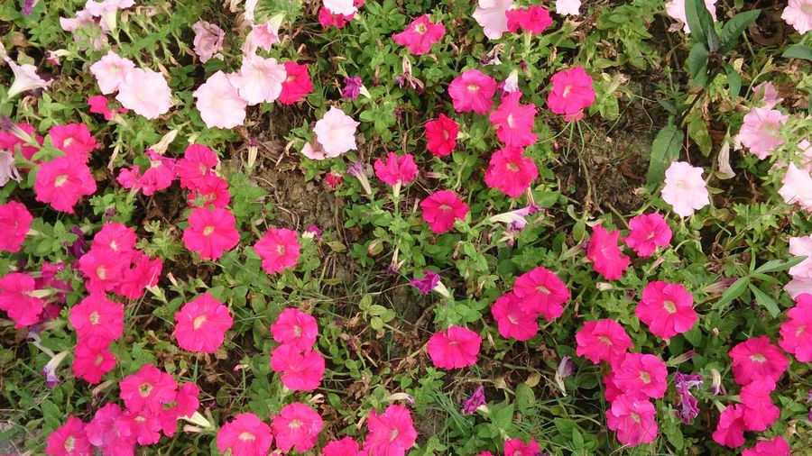 Flower Flower Head Pink Color High Angle View Close-up Plant Pink Growing In Bloom Plant Life Blossom
