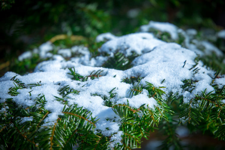 Out on a walk when you come across snow. Nature Strolling Winter Naturelovers Pine Tree Snow Snow On Trees First Eyeem Photo