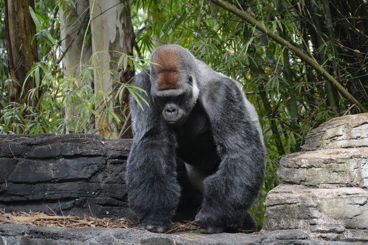 Gorilla on rock by trees
