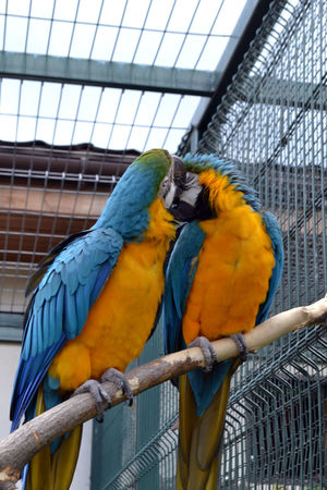 Animal Themes Bird Gold And Blue Macaw Macaw Parrot