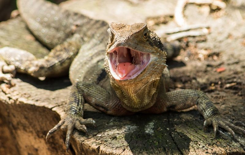 Eastern Water Dragon. Queensland Animalphotography Wildlife Sunshine Australia Antipodes Waterdragon Mouth Light Sunny Relax Wilderness Iguana Reptile Lizard Close-up Animal Tongue Yawning Dragon Animal Mouth Sticking Out Tongue