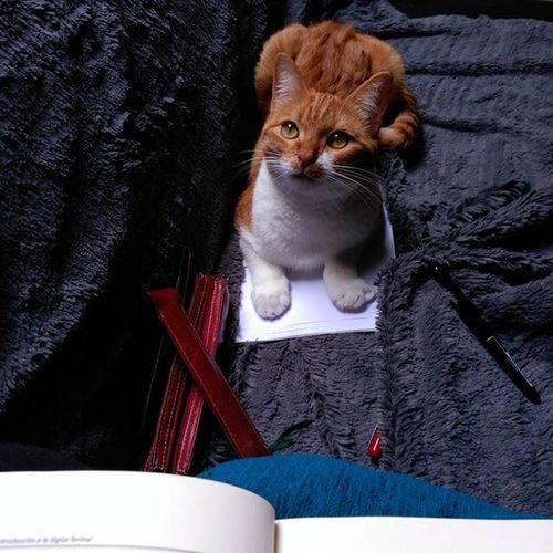 Yo, me siento en tus apuntes porque valgo. Cats Catsgram Orangecatsrule Koreathecat Miau Meow Purr Purrfect Neko Ilovemykitty I Love My Cat Nekomimi Gatos Gatitos Amorgatunoforever Pet