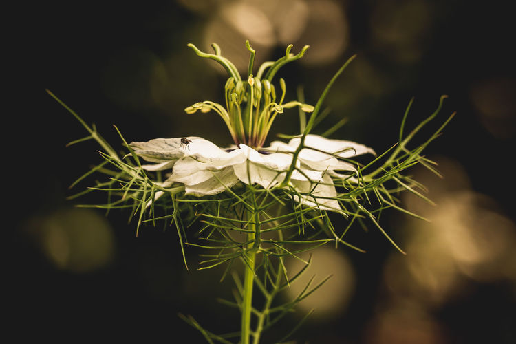 Plant Flower Flowering Plant Vulnerability  Fragility Growth Freshness Beauty In Nature Close-up Selective Focus White Color Flower Head Nature Petal No People Inflorescence Day Green Color Focus On Foreground Outdoors Sepal Springtime Decadence