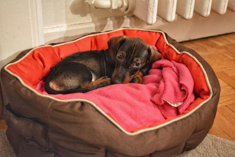 Dogs Metz, France Dashchund Puppy Dog Teckel