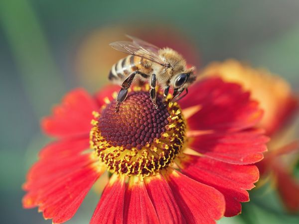 Symbiotic relationships Sneezeweed Sonnenbraut Flower Macro Perspective Nature Natural Light Colorful Multi Colored Detail Animal Outdoors Beauty In Nature Flower Head Petal Close-up Animal Themes Insect Bee Symbiotic Relationship Honey Bee Bumblebee Pollination