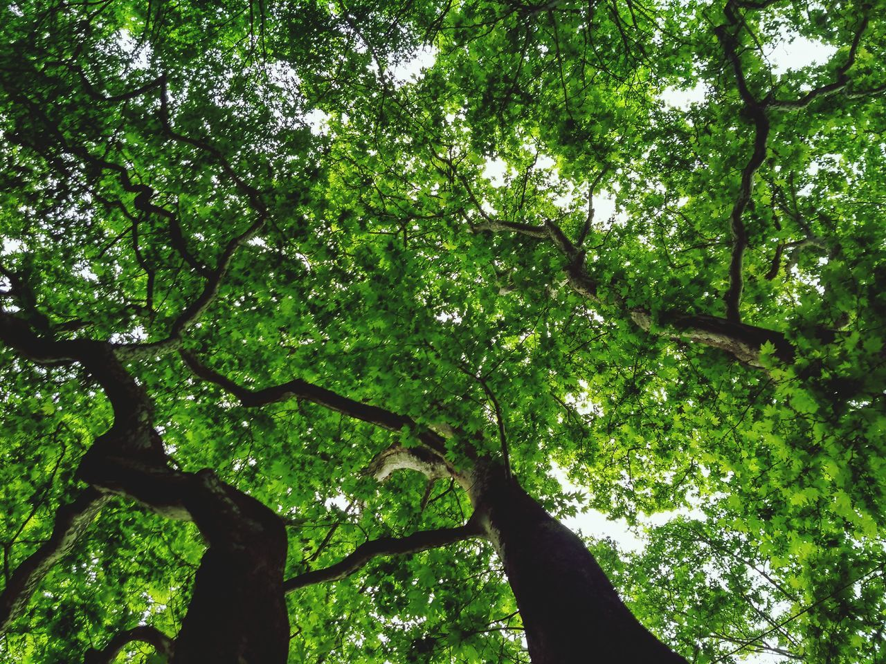 tree, nature, forest, growth, branch, low angle view, no people, beauty in nature, outdoors, day, foliage