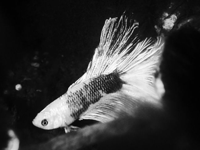 EyeEm Selects Bettafishcommunity Betta Fish Bettafish Betta Lovers Betta  Animal Themes Animals In The Wild One Animal Swimming Animal Wildlife Nature Water Close-up Fish Underwater No People Sea Life Beauty In Nature Blackandwhite DayyUnderSeaa Black And White Friday