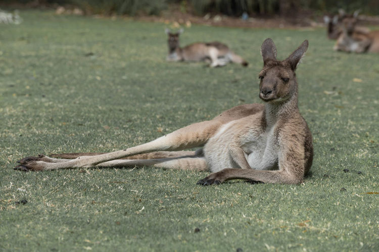 Wallaby resting on field