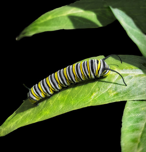 Black Background Butterfly Butterfly - Insect Caterpillar Green Color Insect Leaf Monarch Caterpillar