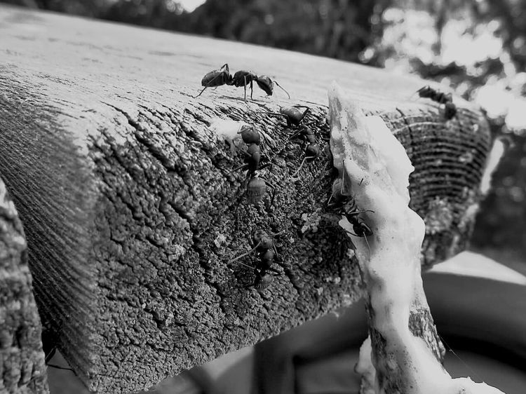 Busy Ants Feasting on Melted Marshmallow on a Wooden Picnic Table Macro Macroinsect Black & White Macro Beauty