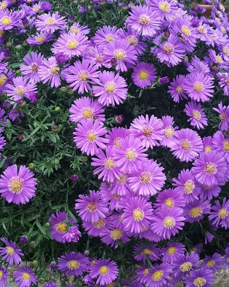 Flower Head Flower Petal Purple Field Springtime High Angle View Blooming Close-up Plant