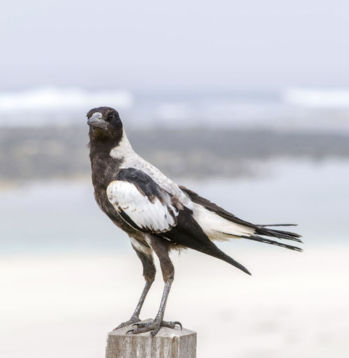 Cheeky magpie watching us as we got out of the car at the beach. Bird Photography Waiting Wildlife & Nature Wildlife Photos Alert Animal Themes Animal Wildlife Animals In The Wild Bird Birds_collection Blurred Background Cheeky Close Up Close-up Curious Focus On Foreground Full Length Magpie Nature One Animal Outdoors Perching Vertebrate Watching Young Bird
