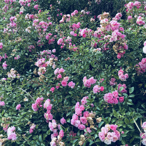 Beauty In Nature Blooming Day Flower Flower Head Fragility Freshness Growth Leaf Nature No People Outdoors Petal Pink Color Plant