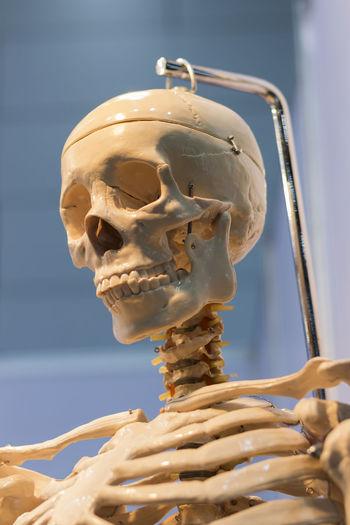 Close-up of skeleton
