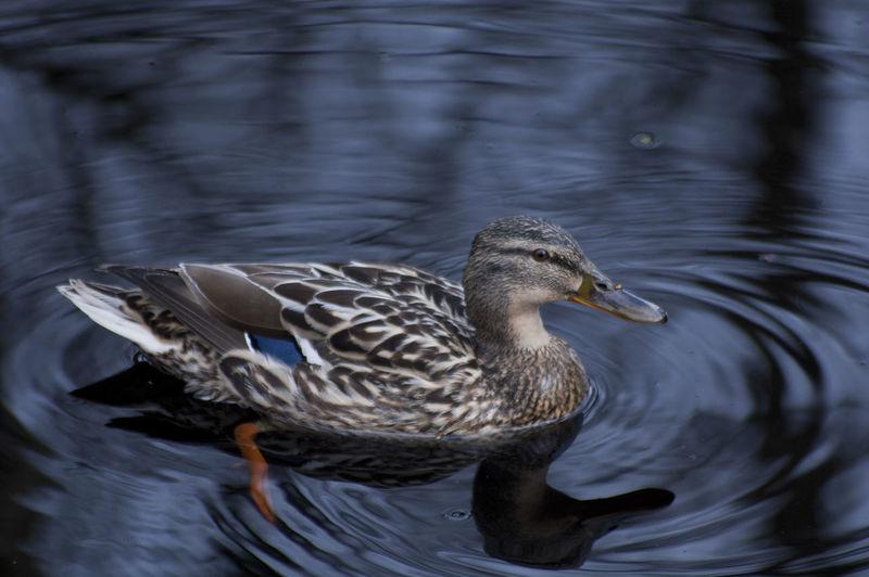 Beauty In Nature Bird Day Duck Focus On Foreground Lake Mallard Duck Nature Outdoors Swimming Water Water Bird Wildlife