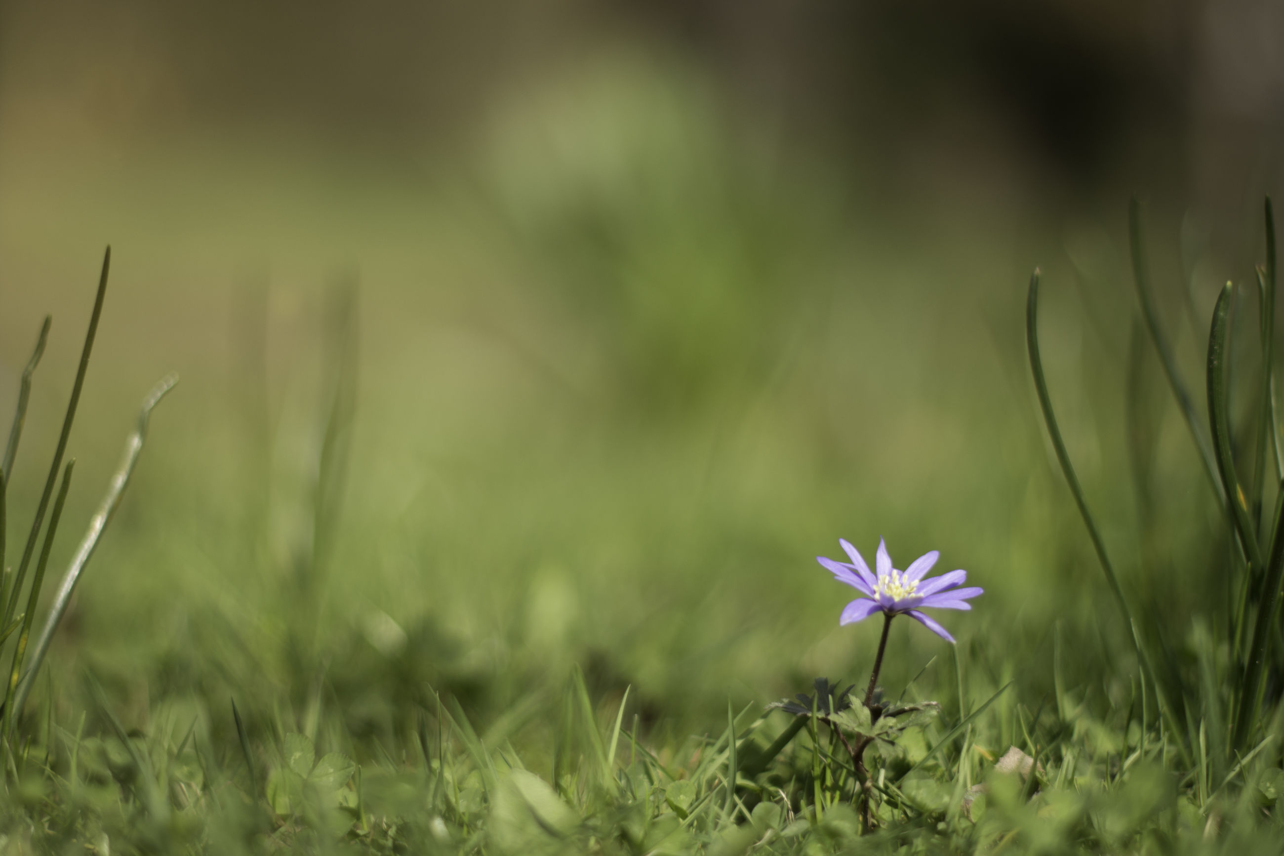 growth, nature, flower, fragility, beauty in nature, grass, plant, outdoors, freshness, no people, close-up, field, flower head, day
