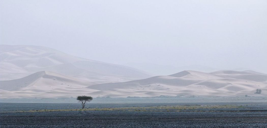 Lonely Tree Desert Desert Beauty Desert Landscape Deserts Around The World Sand Sand Dune 摩洛哥 Morocco Travelinafrica Landscape_Collection Landscape_photography Sahara Sahara Desert Flower Mountain Rural Scene Field Landscape