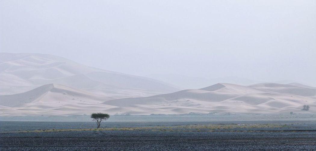 Lonely Tree Desert Desert Beauty Desert Landscape Deserts Around The World Sand Sand Dune 摩洛哥 Morocco Travelinafrica Landscape_Collection Landscape_photography Sahara Sahara Desert Flower Mountain Rural Scene Field Landscape