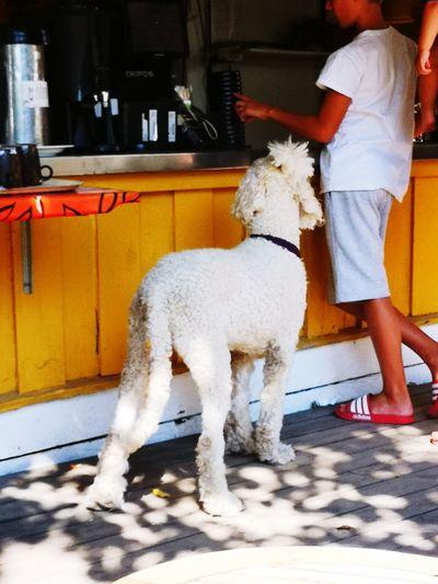 Stockholm Södermalm Sweden Summer Travel Destination Vacations Dog Poodle Restaurant Food Hungry Begging For Food Beggingdog Vegetarian Food Pets Full Length Dog Standing Water Washing Pampered Pets Purebred Dog Sun Lounger