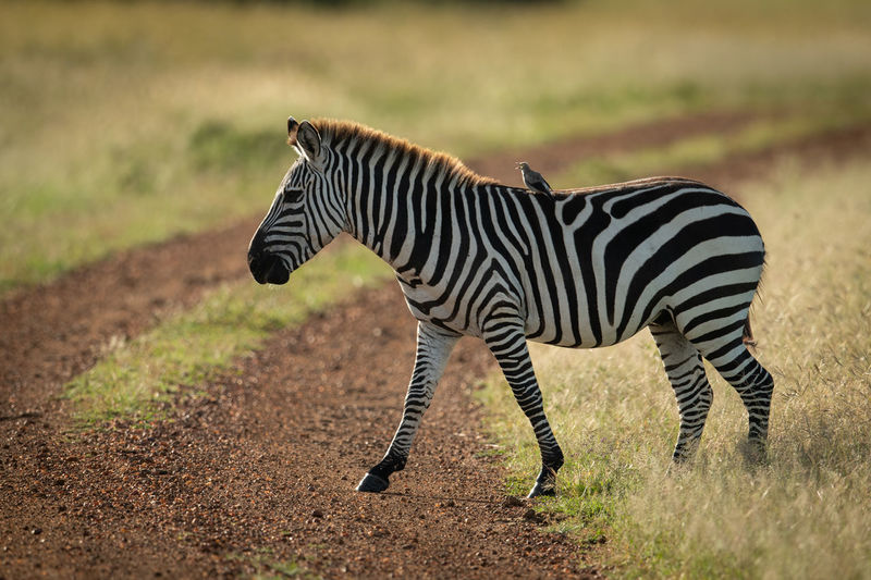 Side view of zebra with bird walking on land