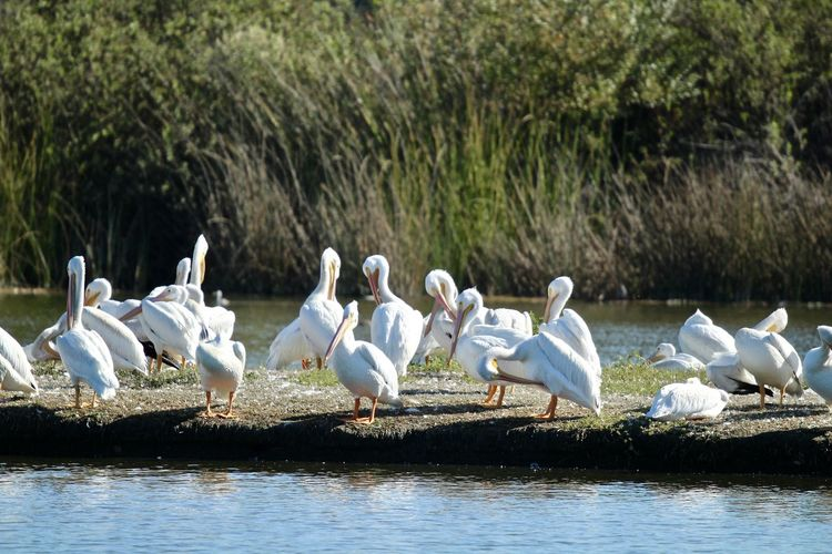 white pelicans sitting on a river bank Animal Themes Bird Animal Animals In The Wild Vertebrate Group Of Animals Animal Wildlife Large Group Of Animals Water Day Lake Nature No People Plant White Color Focus On Foreground Tree Flock Of Birds Sunlight White Pelicans Pelicans