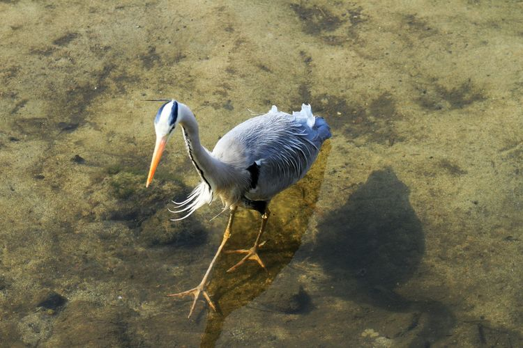 High Angle View Of Grey Heron In Lake