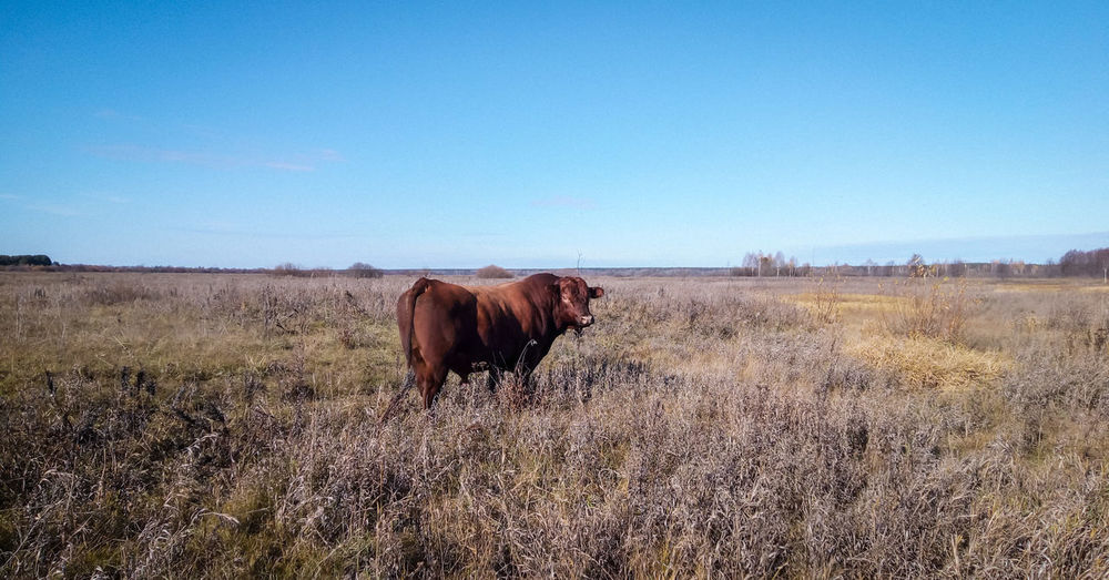 A plump red bull in a clean autumn field, far from the farm, completely free.