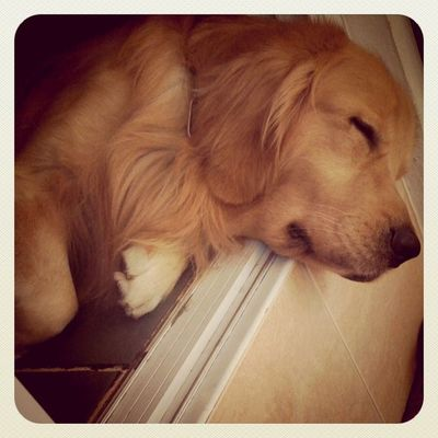 คอพับรับลมหนาว Goldenretriever Hoykong Dog