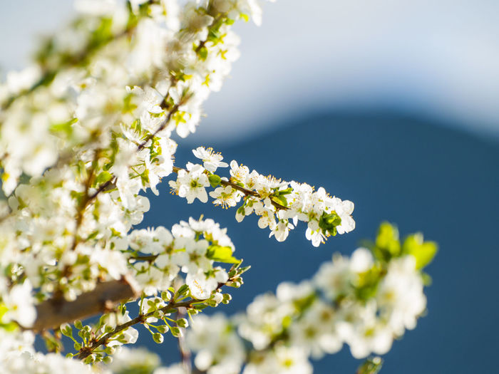 Agriculture Almond Blossom Cherry Blossoms EyeEm Selects Agricultural Land Beauty In Nature Blooming Blossom Delicate Environment Flower Flower Head Fragility Freshness Fruit Fruit Blossom Growth Nature No People Pollen Pollination Spring Spring Flowers Springtime White Flower